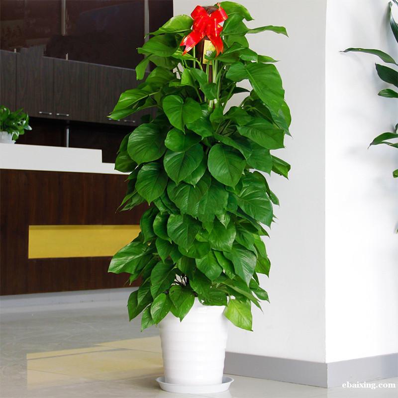 肇嘉浜路绿植绿萝植物租摆租赁养护肇嘉浜路花卉租摆花卉绿植植物