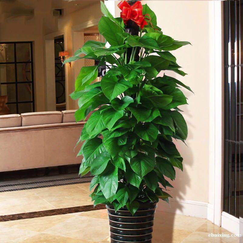 遵义南路延安西路虹桥路花卉植物租赁植物租摆养护发财树出租