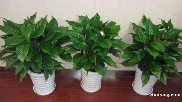 苏州绿植租赁办公室花卉盆景发财树养殖基地批零配送到门